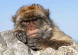 Portrait of Barbary Ape (photo courtesy of Adam Jones)