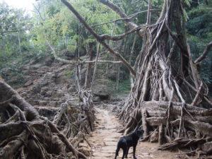 Riwai root bridge