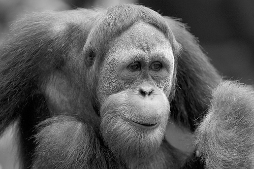 Orangutan (photograph by Chi King)