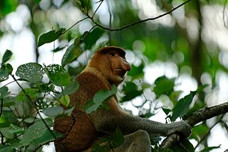 Proboscis Monkey (photo by russavia from wikimedia)